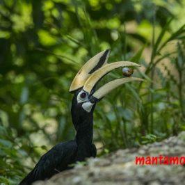 Oriental Pied Hornbill picky about snail