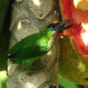 Of papayas and Red-throated Barbets