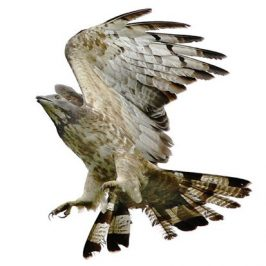 Oriental Honey-buzzard: Wear and tear of feathers