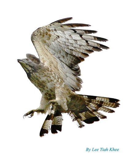 Oriental Honey-buzzard: Wear and tear of feathers