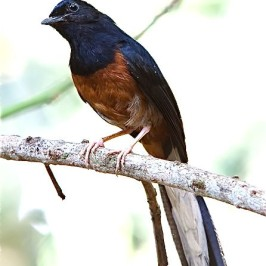 White-rumped Shama: Feather condition