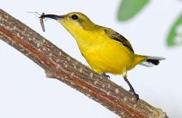 What do sunbirds eat?