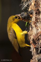 Nesting of Olive-backed Sunbird in the HDB heartland