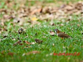 Lesser Necklaced Laughingthrushes encounter a lizard