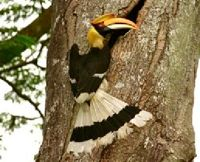 1994 sighting of the Great Hornbill remembered
