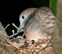ZEBRA DOVES – 2. The saga continues