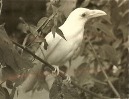 Tale of an albino crow
