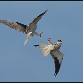 Black-shouldered Kites locking talons