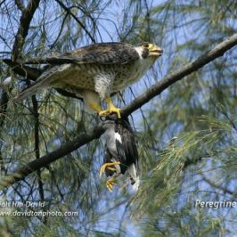 Peregrine Falcon feasting on a White-vented Myna
