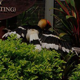 Great Hornbill sunbathing