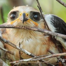 Juvenile Black-shouldered Kites
