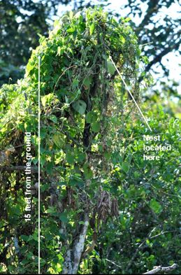 Raffles' Malkoha building nest