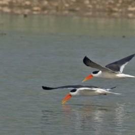 Indian Skimmer skimming