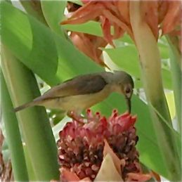 Little Spiderhunter harvesting nectar from torch ginger
