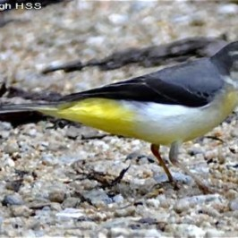 Grey Wagtail catches caterpillar