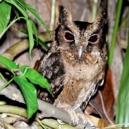 Encounter with a Collared Scops Owl