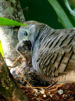 ZEBRA DOVES – 3. More time to rest