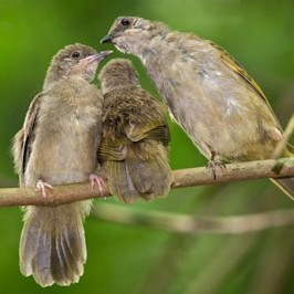 A family of Olive-winged Bulbuls