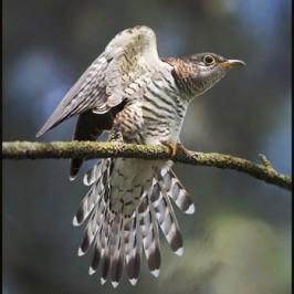 Indian Cuckoo in comfort behaviour