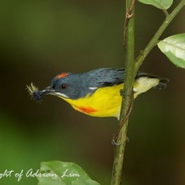 Crimson-breasted Flowerpecker catching caterpillar