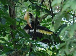 Great Hornbill at Bukit Timah