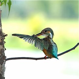 Common Kingfisher in comfort behaviour
