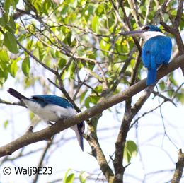 Collared Kingfisher mating