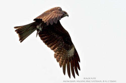 Black Kites of North Vietnam