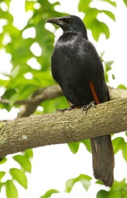 Red-winged Starling spotted in Jurong