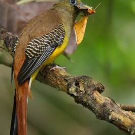 Orange-breasted Trogon takes a moth