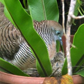 Nesting saga of Peaceful Doves: Part 2 of 6
