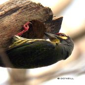 Of insect diet and nesting Coppersmith Barbets (Part 7)