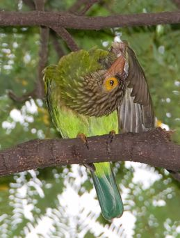 Comfort behaviour of the Lineated Barbet