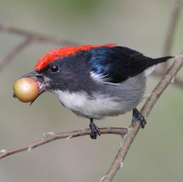 Scarlet Backed Flowerpecker eating Indian cherry
