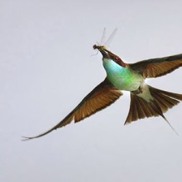 Blue-throated Bee-eaters and dragonflies