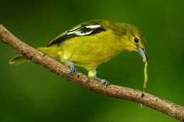 Common Iora catching and swallowing caterpillar