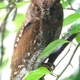 An Oriental Scops Owl came for a visit