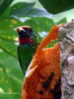 Barbets and papaya