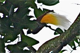 Greater Bird of Paradise sighted