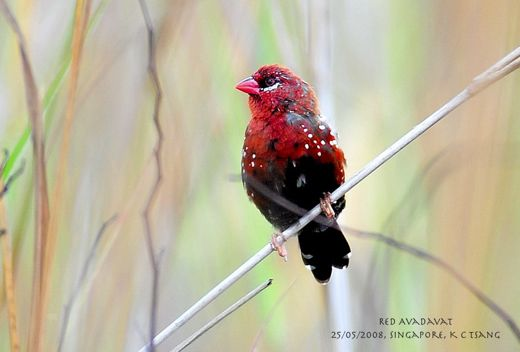 Sighting of the Red Avadavat