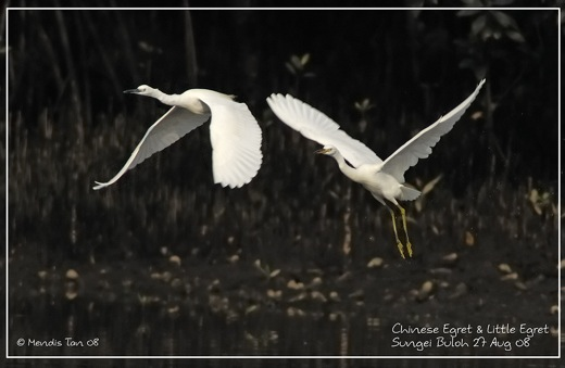 Chinese Egret, problems of identification