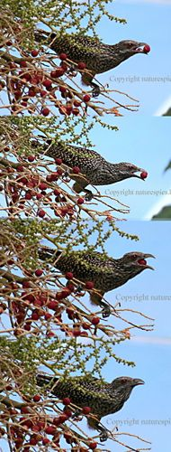 Asian Koel swallowing palm fruit