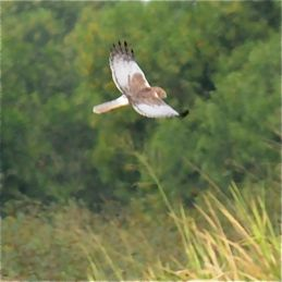 Western and Eastern Marsh-harriers in Singapore?