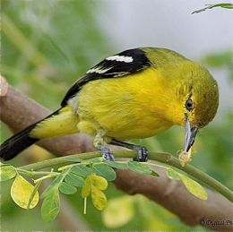 Moringa and Common Iora