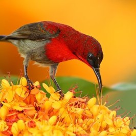 Moulting in sunbirds