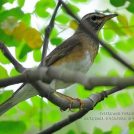 Eyebrowed Thrush at Bidadari
