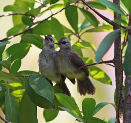Yellow-vented Bulbul fledglings