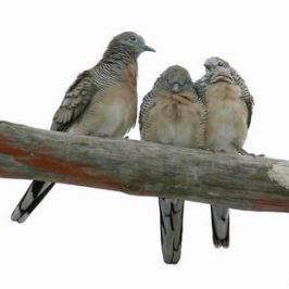 ZEBRA DOVES – 12. Twenty four days old and still…