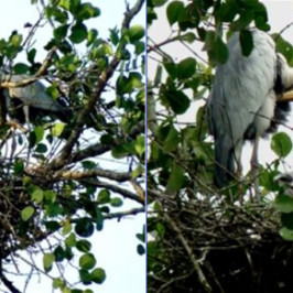 Nesting of Grey Herons