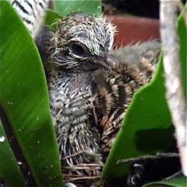Nesting saga of Peaceful Doves: Part 3 of 6